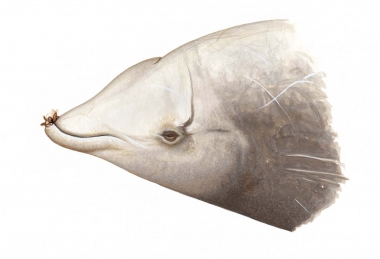 Image of Cuvier's beaked whale (Ziphius cavirostris) - Adult male head showing stalked barnacles on teeth