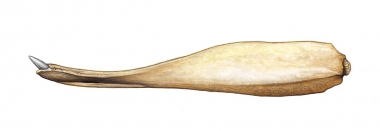 Image of Cuvier's beaked whale (Ziphius cavirostris) - Adult male lower jaw