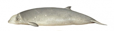 Image of Cuvier's beaked whale (Ziphius cavirostris) - Young adult female