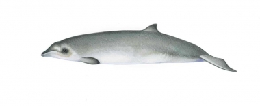 Image of Gervais' beaked whale (Mesoplodon europaeus) - Calf