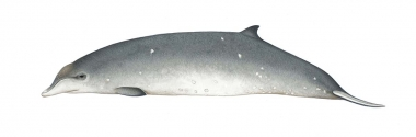 Image of Ginkgo-toothed beaked whale (Mesoplodon ginkgodens) - Adult female