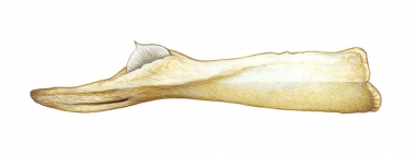 Image of Ginkgo-toothed beaked whale (Mesoplodon ginkgodens) - Adult male lower jaw