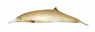 Image of Gray's beaked whale (Mesoplodon grayi) - Adult female showing colour variation