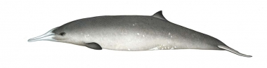 Image of Gray's beaked whale (Mesoplodon grayi) - Adult female