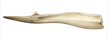 Image of Gray's beaked whale (Mesoplodon grayi) - Adult male lower jaw