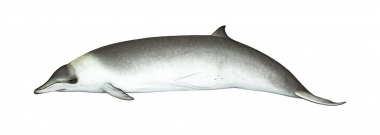 Image of Hector's beaked whale (Mesoplodon hectori) - Adult female