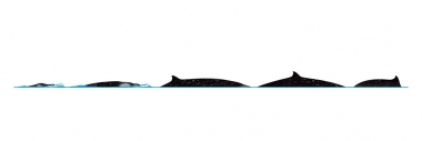 Image of Perrin's beaked whale (Mesoplodon perrini) - Dive sequence
