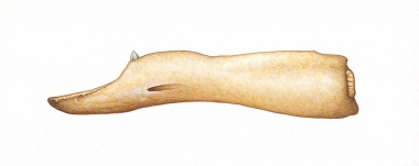Image of Peruvian beaked whale (Mesoplodon peruvianus) - Adult male lower jaw