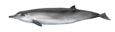 Image of Spade-toothed whale (Mesoplodon traversii) - Adult female; the spade-toothed whale is the least known of all the world's living cetaceans