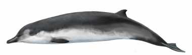 Image of Spade-toothed whale (Mesoplodon traversii). - Adult male; the spade-toothed whale is the least known of all the world's living cetaceans