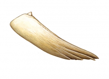 Image of Spade-toothed whale (Mesoplodon traversii). - Tooth detail showing denticle at tooth tip; the spade-toothed whale is the least known of all the world's living cetaceans