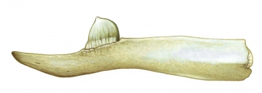 Image of Stejneger's beaked whale (Mesoplodon stejnegeri) - Adult male lower jaw