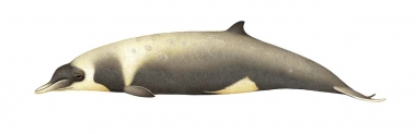 Image of Strap-toothed beaked whale (Mesoplodon layardii) - Adult female with diatoms