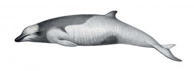 Image of Strap-toothed beaked whale (Mesoplodon layardii) - Calf