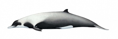 Image of Strap-toothed beaked whale (Mesoplodon layardii) - Adult female