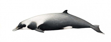 Image of Strap-toothed beaked whale (Mesoplodon layardii) - Adult male