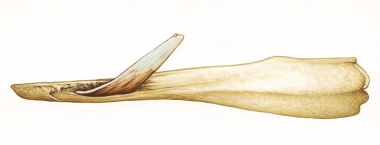 Image of Strap-toothed beaked whale (Mesoplodon layardii) - Adult male lower jaw