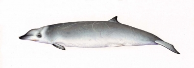 Image of True's beaked whale (Mesoplodon mirus) - Adult male North Atlantic form