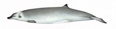 Image of True's beaked whale (Mesoplodon mirus) - Adult female North Atlantic form