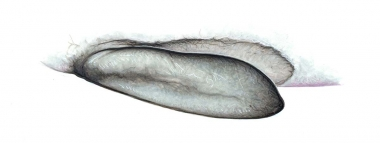 Image of True's beaked whale (Mesoplodon mirus) - 'Flipper pocket'; small depression on side (in in other beaked whales)