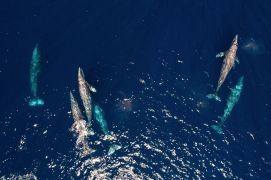 Image of Grey or gray whale (Eschrichtius robustus) - Migrating north, Baja California, Mexico, North Pacific, aerial