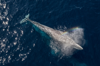 Image of Grey or gray whale (Eschrichtius robustus) - Blowing or spouting, Baja California, Mexico, North Pacific, aerial