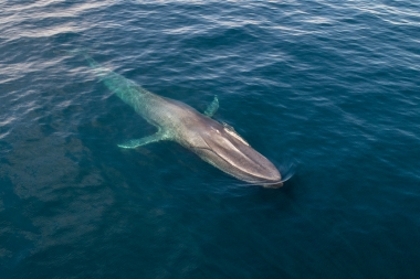 Image of Blue whale (Balaenoptera musculus) - Baja California, Mexico, North Pacific, aerial