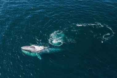 Image of Blue whale (Balaenoptera musculus) - Feeding, Baja California, Mexico, North Pacific, aerial