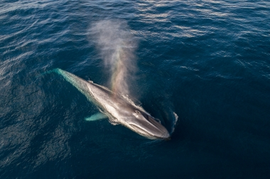 Image of Blue whale (Balaenoptera musculus) - Blowing or spouting, Baja California, Mexico, North Pacific, aerial