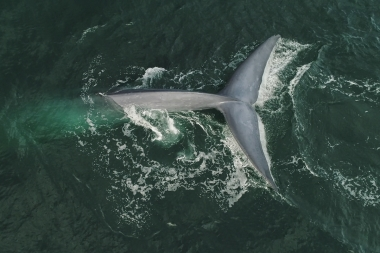 Image of Blue whale (Balaenoptera musculus) - Fluking, Baja California, Mexico, North Pacific, aerial