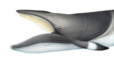 Image of Common minke whale (Balaenoptera acutorostrata) - Adult nothern hemisphere, with open mouth