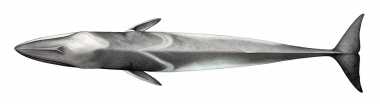 Image of Fin whale (Balaenoptera physalus) - Topside