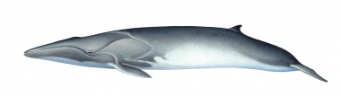 Image of Fin whale (Balaenoptera physalus) - Calf