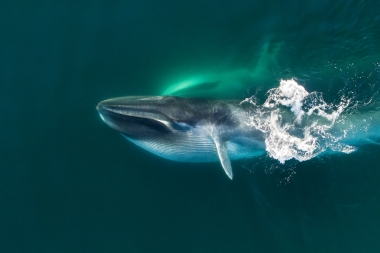 Image of Fin whale (Balaenoptera physalus) - Feeding pair, showing expanded throat pleats, Baja California, Mexico, North Pacific, aerial