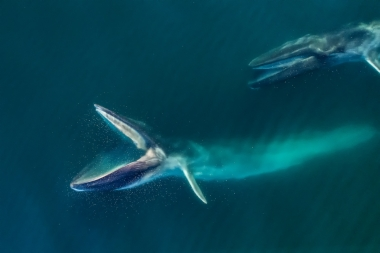 Image of Fin whale (Balaenoptera physalus) - Feeding pair, Baja California, Mexico, North Pacific, aerial