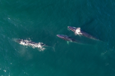 Image of Fin whale (Balaenoptera physalus) - Baja California, Mexico, North Pacific, aerial of group