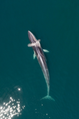 Image of Fin whale (Balaenoptera physalus) - Surfacing, Baja California, Mexico, North Pacific, aerial