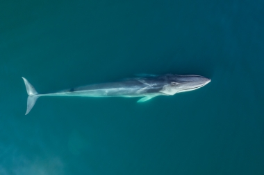 Image of Fin whale (Balaenoptera physalus) - Baja California, Mexico, North Pacific, aerial