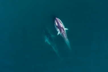 Image of Fin whale (Balaenoptera physalus) - Feeding, Baja California, Mexico, North Pacific, aerial