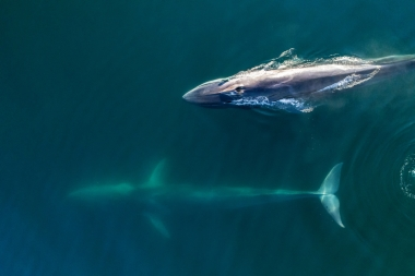 Image of Fin whale (Balaenoptera physalus) - Baja California, Mexico, North Pacific