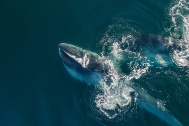 Image of Fin whale (Balaenoptera physalus) - Feeding, Mexico, North Pacific, aerial
