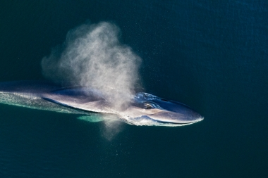 Image of Fin whale (Balaenoptera physalus) - Blowing or spouting, Baja California, Mexico, North Pacific, aerial