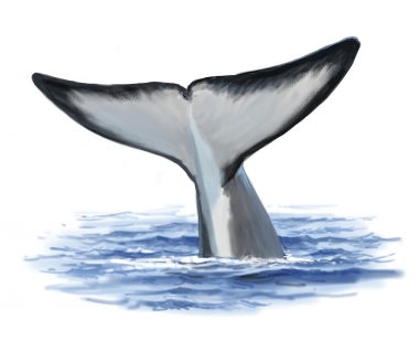 Image of Fin whale (Balaenoptera physalus) - Fluking