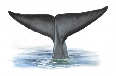 Image of Blue whale (Balaenoptera musculus) - Fluking
