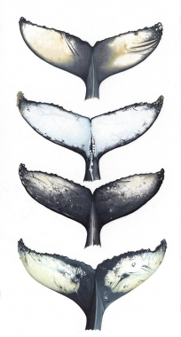 Image of Humpback whale (Megaptera novaeangliae) - Fluke comparisons, undersides vary from virtually all black to vitually all white with countless combinations of black and white in between