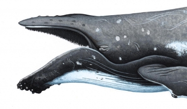 Image of Humpback whale (Megaptera novaeangliae) - Adult with mouth open
