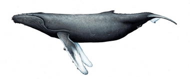 Image of Humpback whale (Megaptera novaeangliae) - Adult female northern hemisphere