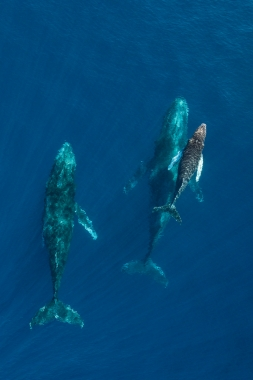 Image of Humpback whale (Megaptera novaeangliae) - Mother, calf and male escort, Baja California, Mexico, North Pacific, aerial