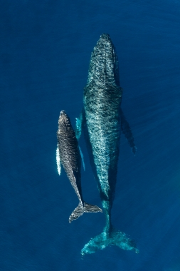 Image of Humpback whale (Megaptera novaeangliae) - Mother and calf, Baja California, Mexico, North Pacific, aerial