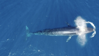Video of Bryde's whale (Balaenoptera edeni) - Aerial footage of Bryde's whale surfacing